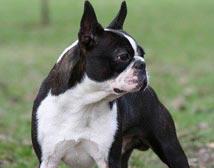 Mórocz Ilona - Mex, Boston terrier