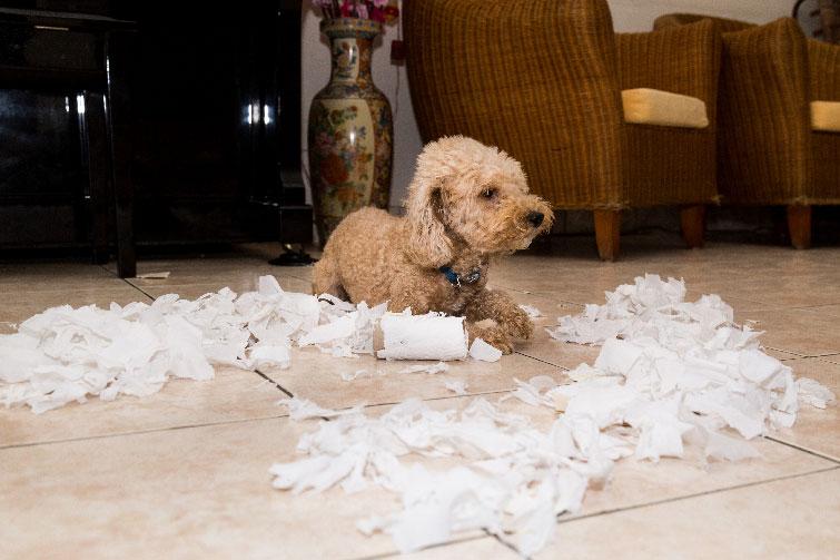 Jelek, hogy a kutya unatkozik: folyton rosszalkodik, ha egy pillanatra levesszük róla a szemünket