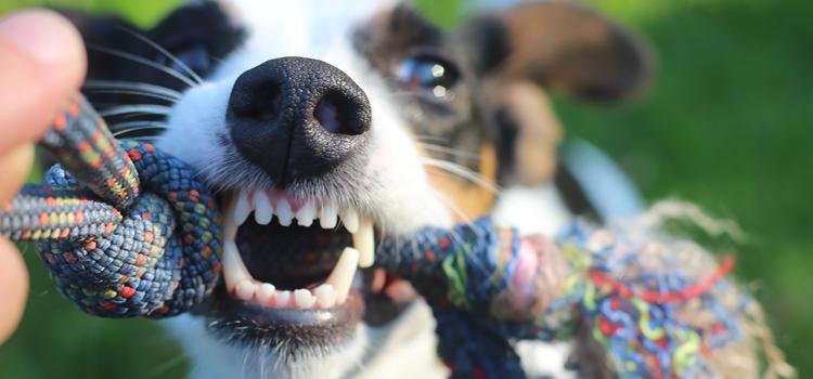 Kutya fogápolás, fontosabb, mint hinné