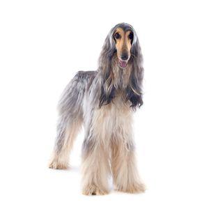 kutyafajta kereső afgán agár