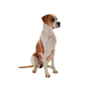 kutyafajta képekkel amerikai bulldog
