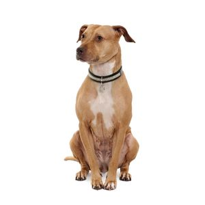 Amerikai pitbull terrier