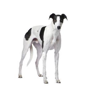 kutyafajta kereső angol agár