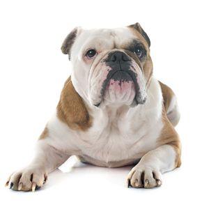 kutyafajta képekkel angol bulldog