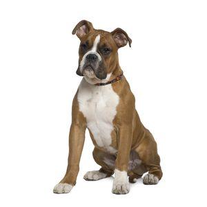 kutyafajta képekkel boxer