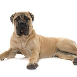 kutyafajta képekkel bull Bullmasztiff