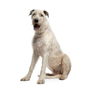 kutyafajta kereső Ír farkaskutya