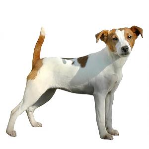 Jack Russel-terrier