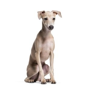 kutyafajta kereső olasz agár