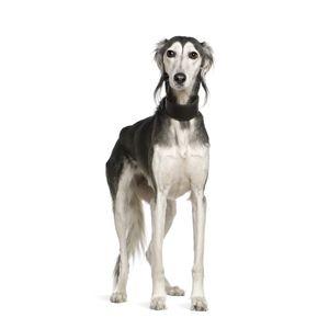 kutyafajta kereső perzsa agár