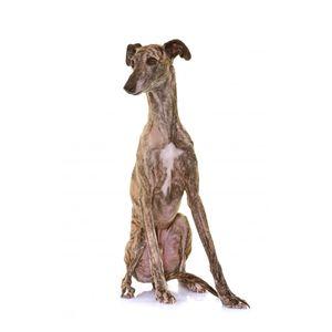 kutyafajta kereső spanyol agár