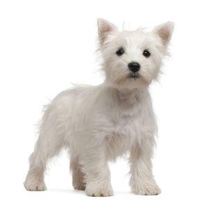 West highland white terrier, azaz westie