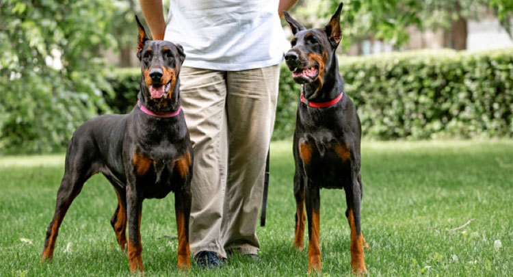 okos kutyafajta dobermann