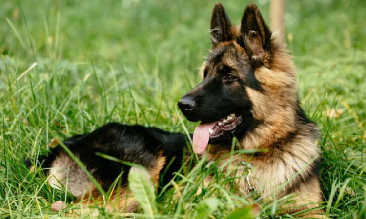 németjuhász legokosabb kutyafajta